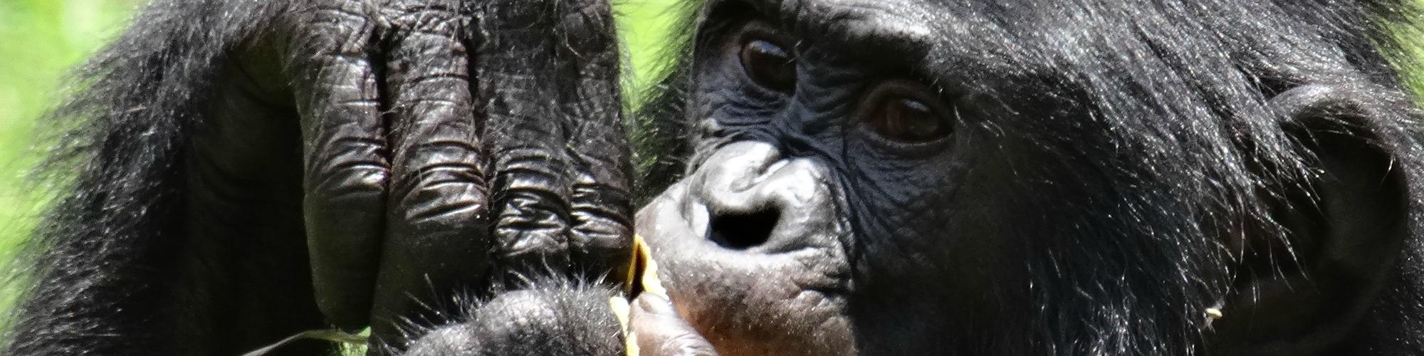 Bonobo vrouwtje