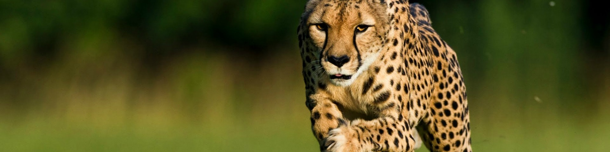 Cheetah header