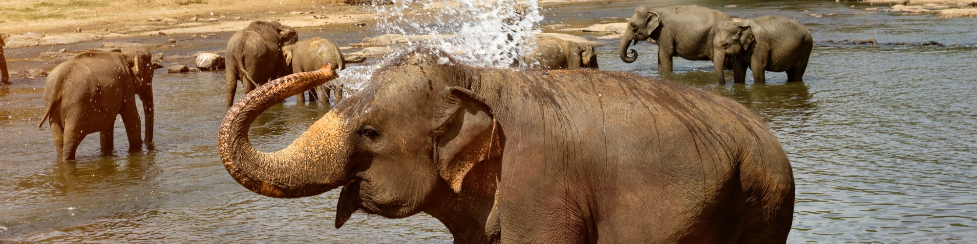 Dronken olifant header